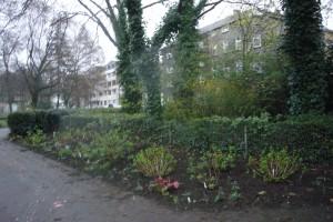 Hortensien pflanzen220314-123